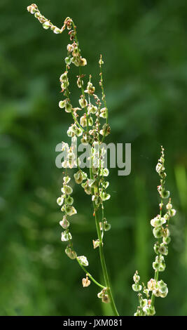 Seed head of sorrel (Rumex acetosa) with winged seeds evolved for wind dispersal. Bedgebury Forest, Kent, UK. - Stock Image