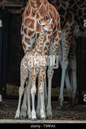 Karamoja the 12 day old baby Rothschild's Giraffe takes its first steps outside at Chester Zoo. - Stock Image