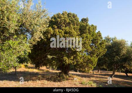 Syrischer Wacholder zwischen Olivenbäumen in Griechenland - Stock Image