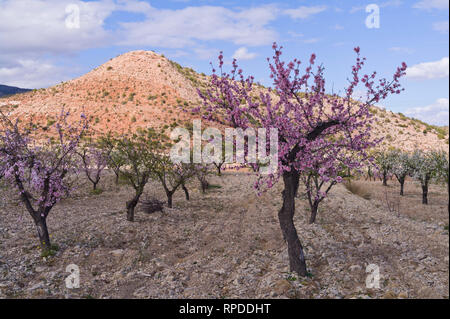 Almond trees blossoming, Valle de Ricote, Murcia, Spain - Stock Image