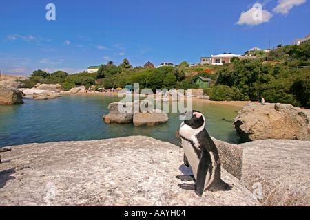 SA simon s town boulders beach jackass penguin - Stock Image