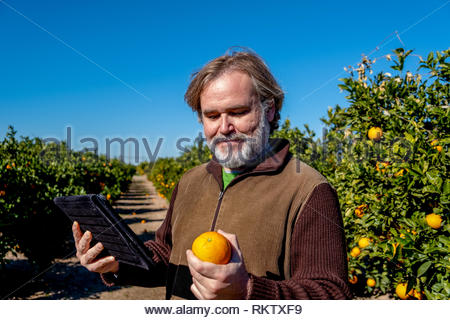 Farmer with a tablet observes an orange in his field of cultivation - Stock Image