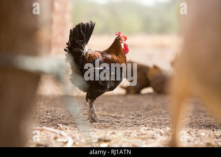 Kourono village, Yako province, Burkina Faso; Moussa Mande, 54, goat project beneficiary, also has chickens. - Stock Image
