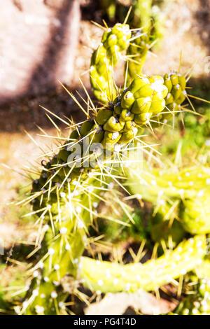 Austrocylindropuntia subulata cactus, Eve's pin, Eve's pin cacti, Eve's pin cactus, cacti, plant, botany, spiny cacti, Austrocylindropuntia subulata - Stock Image
