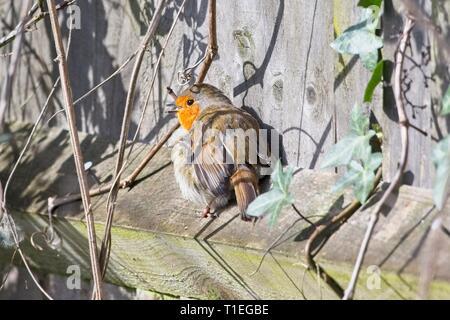 Hailsham, UK. 26th Mar, 2019. UK weather. A Robin (Erithacus rubecula) soaks up some sunshine this morning in Hailsham, East Sussex, UK. Credit: Ed Brown/Alamy Live News - Stock Image