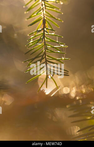 Dew drops are glittering on fir twigs on an autumn morning. - Stock Image