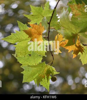 Autumn leaves and a fruit of a plane tree (Platanus cross). Winchester, Hampshire, UK. - Stock Image