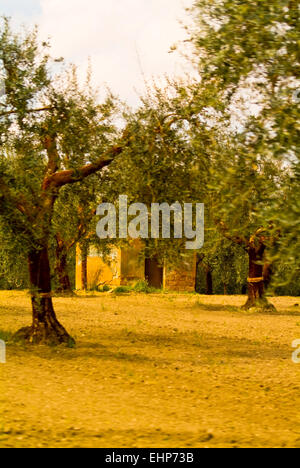 Olive groves, Apulia, Italy - Stock Image