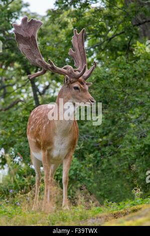 Stately Fallow deer - Stock Image