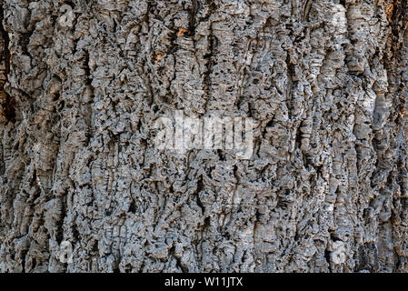 Close-up on the bark of cork oak, Quercus suber- texture or background - Stock Image