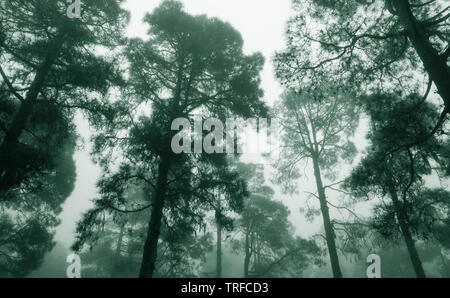 Misty pine forest - Stock Image