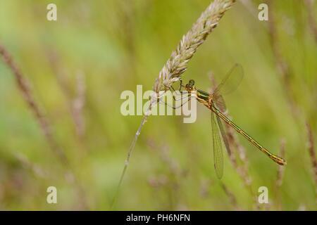 Lestes sponsa, Emerald Damselfly, Wales, UK. - Stock Image