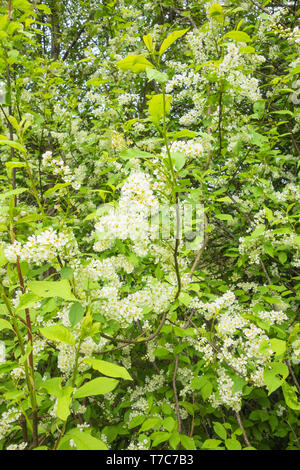 Bird Cherry (Prunus padus) also known as Black Dogwood growing on a nature reserve in the Herefordshire UK countryside. April 2019 - Stock Image
