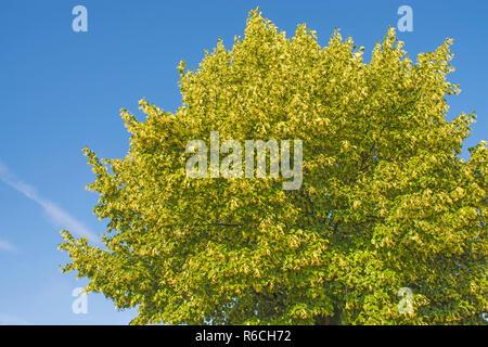 Lime-Tree Blossom - Stock Image