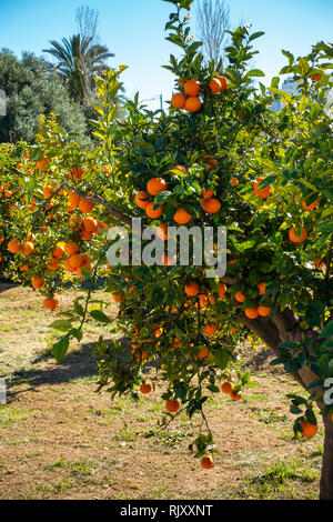 Spanish oranges hanging in an orange grove on a sunny day - Stock Image
