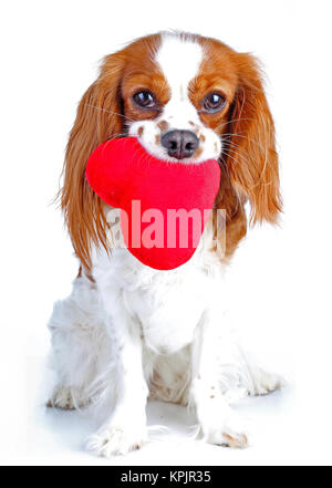 Dog love. Red heart with dog. Cavalier king charles spaniel dog photo. Beautiful cute cavalier puppy dog on isolated - Stock Image