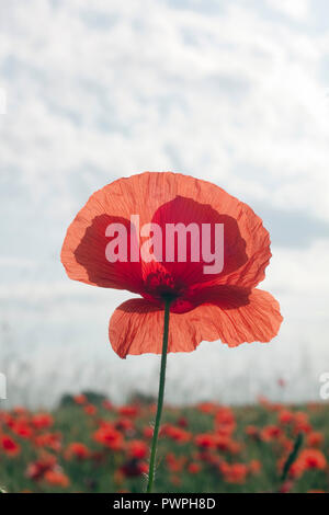 France, Chaumes-en-Retz, department 44, field of poppies, spring. - Stock Image