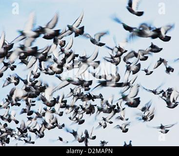 flock of pigeons - Stock Image