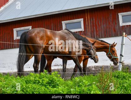 Two thoroughbred horses eat together in front of a red rustic barn in Sorpoo Finland. - Stock Image