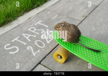 New year of the rat. Top view of start 2020 text and rodent sitting on skateboard and looking forward - Stock Image
