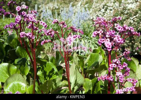 Bergenia cordifolia - Stock Image