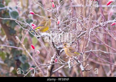 Hailsham, UK. 24th Jan 2019.UK weather.Greenfinches (Carduelis chloris) sit amongst frozen rose hips this morning after a cold night in Sussex. Wildlife will struggle to find food as the cold weather worsens this week. Hailsham, East Sussex, UK. Credit: Ed Brown/Alamy Live News - Stock Image