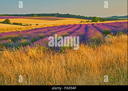 Snowshill in the Cotswolds and lavender fields in the landscape on a summer evening. - Stock Image