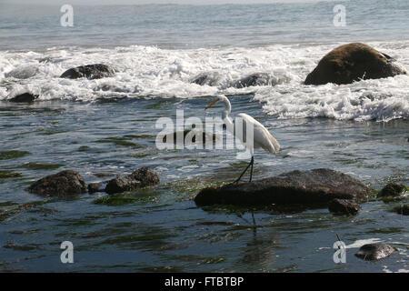 Great Egret in tide pool Leo Carrillo State Park Pacific Coast Highway, Malibu, Calfornia - Stock Image