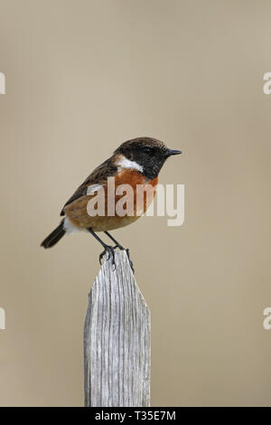 Male Stonechat 2018 Calendar Cover - Stock Image