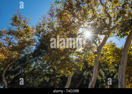 Midday sunlight beams through the branches and leaves of tall waving trees. - Stock Image
