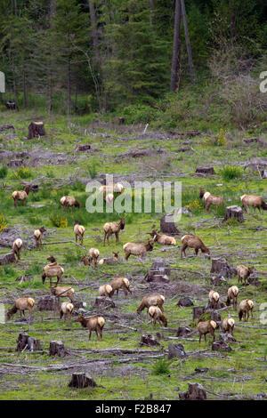 A herd of Roosevelt Elk gather on an open clear cut near Umpqua in southwest Oregon. - Stock Image