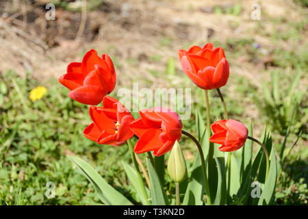 Brightly coloured red tulips on a spring day - Stock Image
