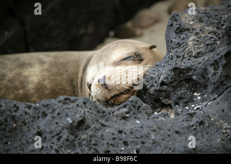 Galapagos Sea Lion, Zalophus wollebaeki , San Cristobal Island, Galapagos Islands, Ecuador, South America - Stock Image