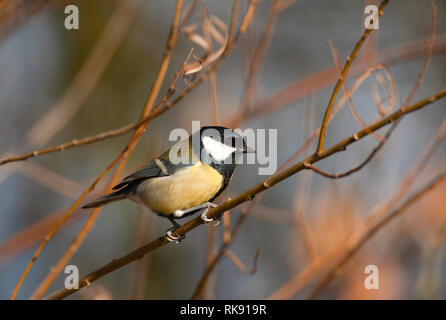 Great Tit, Parus major, perched on branch, Hampstead Heath, London, United Kingdom - Stock Image