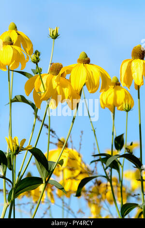 Golden yellow flowers of Rudbeckia 'Autumn Sun' (Rudbeckia Nitida 'Herbstsonne') against a blue sky background - Stock Image