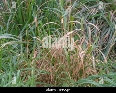 Tuft of dying grass at the end of season. Also metaphor for old age, dying, death of the high street UK. - Stock Image