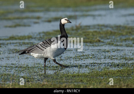Barnacle Goose in Wetland Habitat - Stock Image