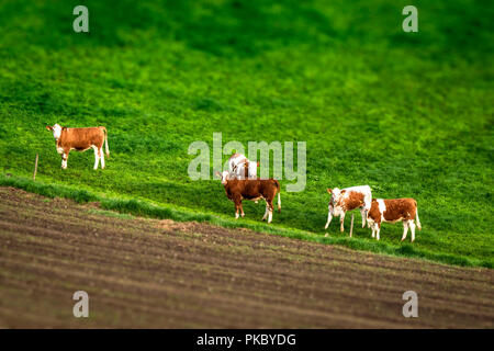 Cattle on a green meadow behind a fence by a rural field seen from above - Stock Image