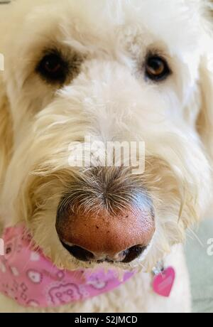 A close up of a white labradoodle dog. - Stock Image