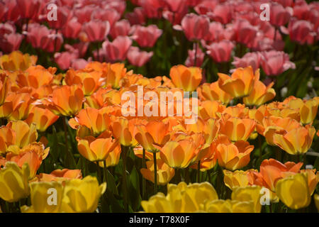 endless field of tulips in different bright colors in spring, many rows of blooming tulips - Stock Image