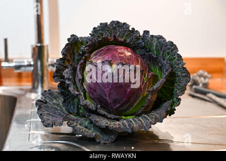 Fresh British cabbage harvested in February winter - Stock Image