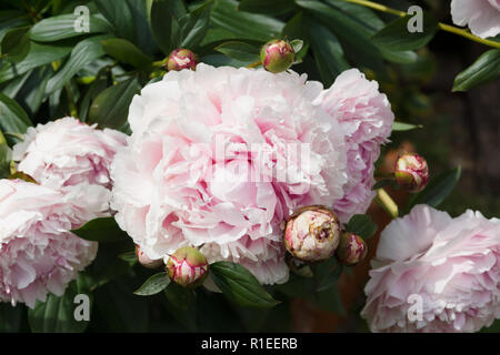 Peonies a popular garden plant and a herbaceous perennial native Asia Europe and North America - Stock Image