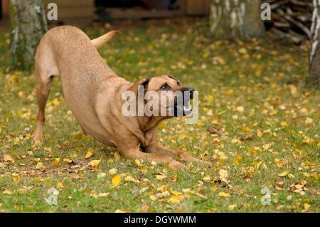 Mixed-breed Rhodesian Ridgeback barking encouragingly - Stock Image