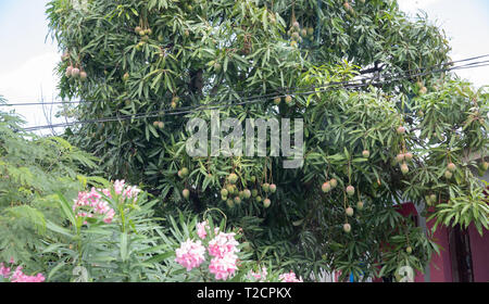Large Mango tree  in Antigua, The Caribbean - Stock Image