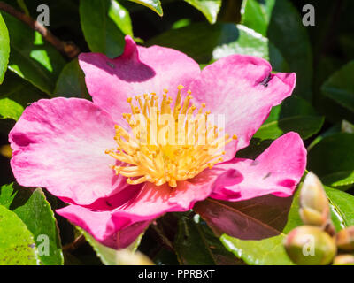 Single flower of the autumn blooming evergreen shrub, Camellia sasanqua 'Crimson King' - Stock Image