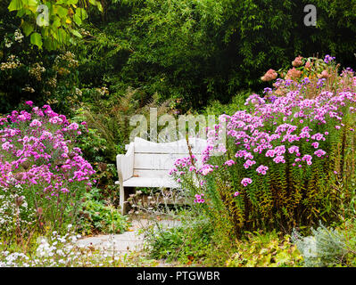 Pink Aster nova-angliae varieties frame a white bench in Autumn at  The Garden House, Buckland Monachorum, Devon, UK. - Stock Image