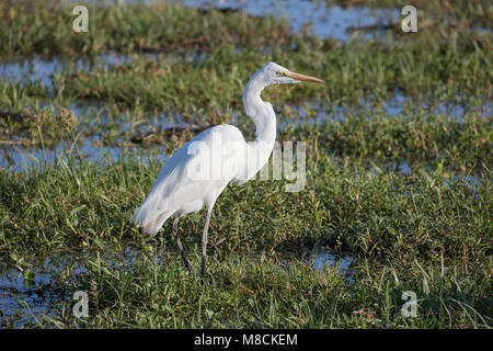 Great White Egret foraging in swamp in Amboseli National Park, Kenya - Stock Image