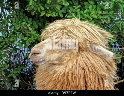 Portrait of a Llama - Stock Image