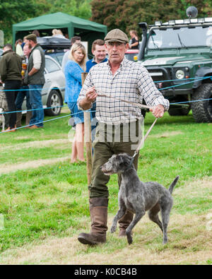 The Barlow Hunt Dog Show - A lurcher dog being walkerd in the show ring - Stock Image