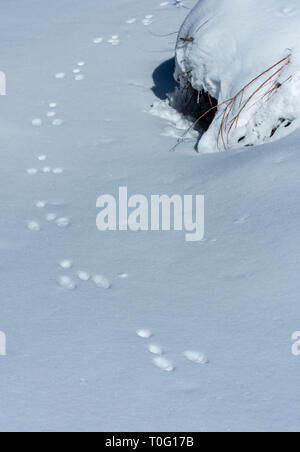 Mountain or Nuttall's Cottontail rabbit tracks in snow, Castle Rock Colorado US. Photo taken in March. - Stock Image